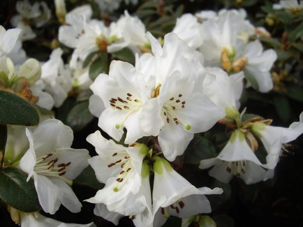 <strong>Rhododendron leucaspis 'Snow Lady'   -zitonenduft-</strong>