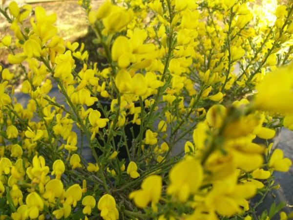 <strong>Cytisus beanii</strong>