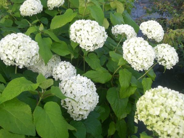 <strong>Hydrangea arborescens 'Anabelle'</strong>