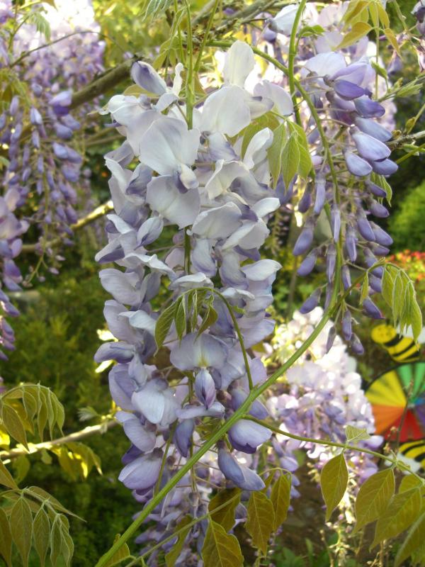 <strong>Wisteria sinensis</strong>
